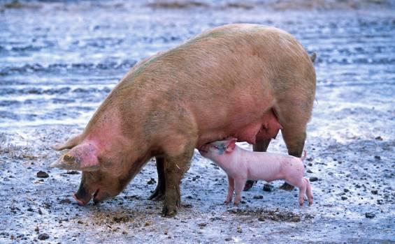 Pink Piglet Sucking on Breast of Brown Pig #44303