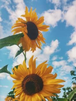 Sunflowers and Blue Sky #44344