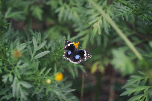 Black White and Blue Butterfly on Yellow Flower Free Photo