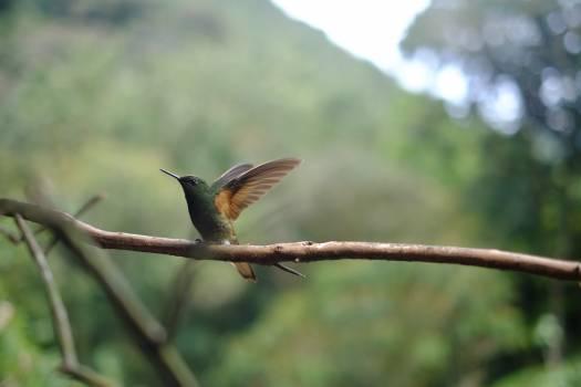 Hummingbird bird animal wings Free Photo
