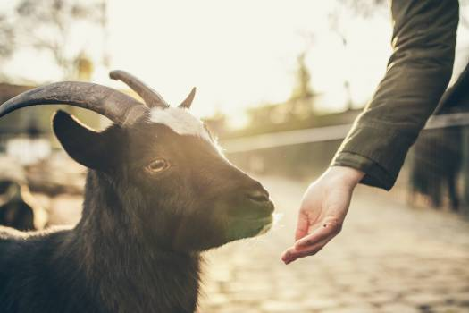 Black and White Goat Beside Person in Black Long Sleeve Shirt #44544