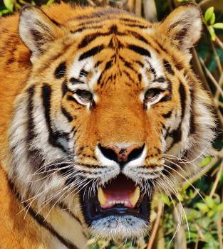 Close Up Photography of Yellow White and Black Tiger Face #44635