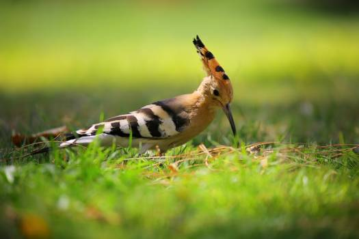 Selective Focus Photography of Brown Black and White Long Beak Bird on Green Grass Free Photo