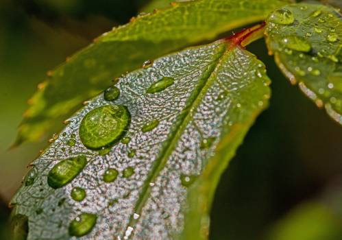 Water Droplets on Green Leaf Free Photo