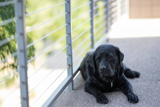 Black Short Coat Medium Dog Retriever #44645