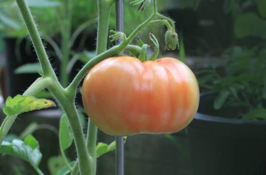 Orange Tomato Free Photo