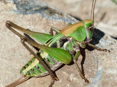 Green Grasshopper on Brown Stone #45019