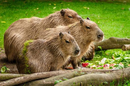 Photo of 3 Capybara Standing Near Wooden Branch and Grass #45111