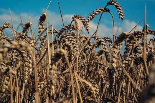 Sky corn grain Free Photo