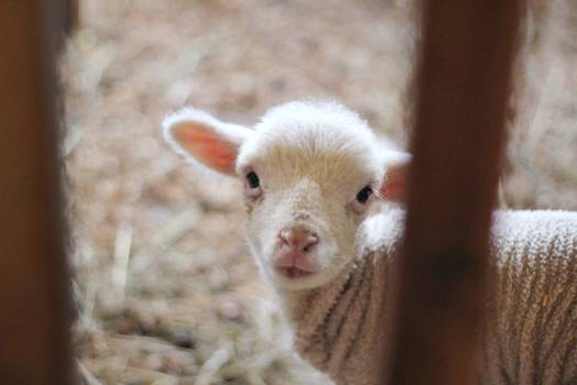 White Lamb in Close Up Photography #45494