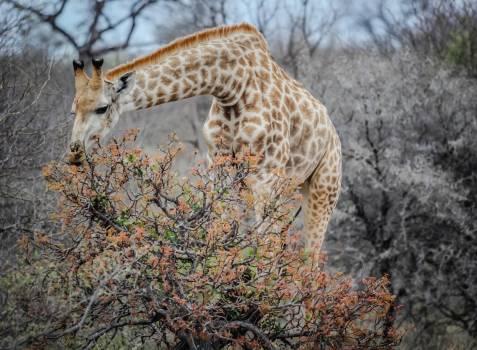 Giraffe animal wild life mammal #45527