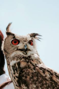 Brown White and Black Red Eyed Owl Free Photo