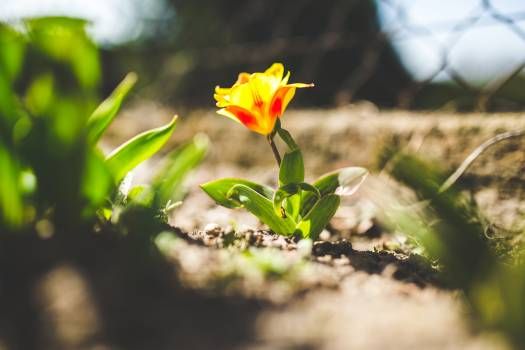 Yellow tulip in spring #45556
