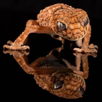 Brown Lizard's Image Reflecting on Floor Free Photo