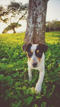 Tricolor Jack Russell Terrier #45675
