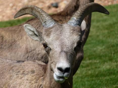 Gray Mountain Goats Free Photo