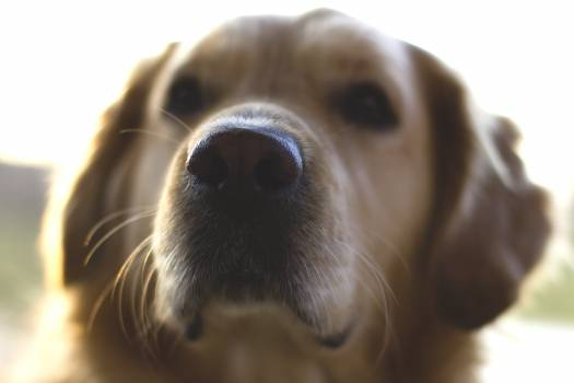 Dog nose golden retriever #45759