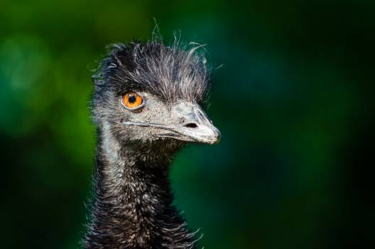 Black Ostrich Head #45854