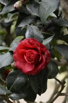 Red Rose Bush One Rose #45859