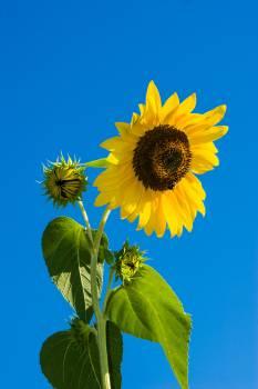 Sunflower Under Blue Sky during Daytime #45975