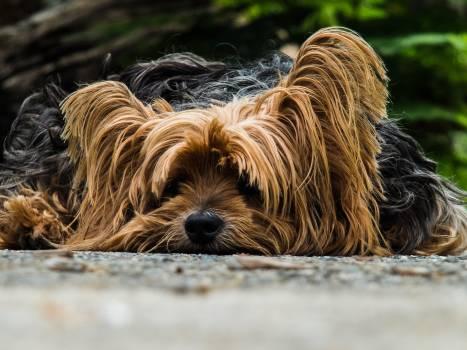 Yorkshire Terrier Dog #46035