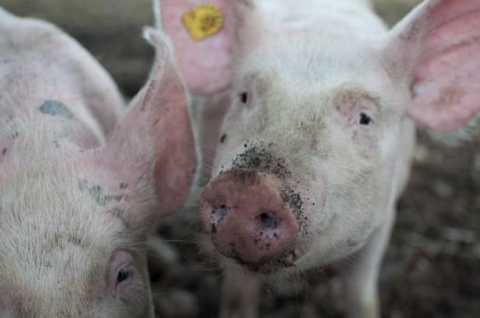 Close Photo of Pig #46327
