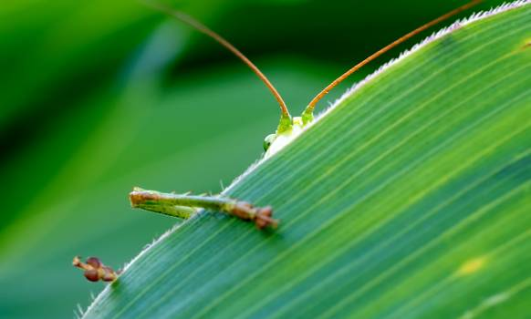 Green Insect Behind Green Leaf #46359