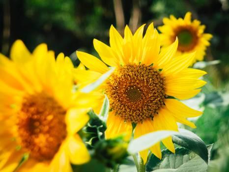 Focus Photo of Yellow Sun Flowers #46395
