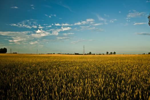 Big field of grain #46399