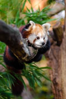 Red Panda on Tree Trunk during Daytime #46475