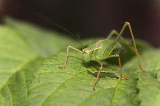 Green Grasshopper on Green Leaf #46493