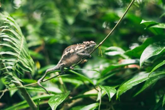 Animal animal photography chamaeleon chamaeleonidae #46532