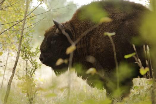 Brown Buffalo Closeup Photography #46608