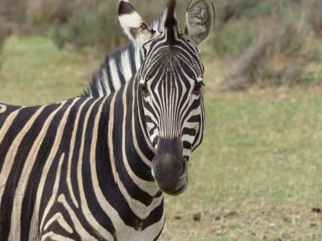 Close Up Photography of Zebra Animal during Daytime Free Photo