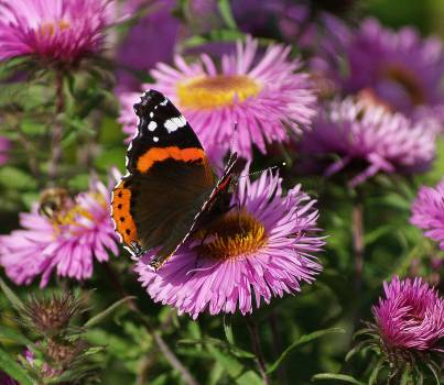 Black Orange White Butterfly on Purple Multi Petal Flower during Daytime Free Photo