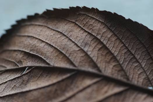Brown Leaf Free Photo