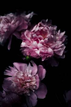 Close Up Photo of Pink Petaled Flower Free Photo