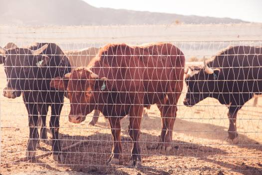 Cattle Behind Wire Fence during Daytime #46837