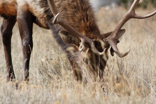 Nature animal deer elk Free Photo