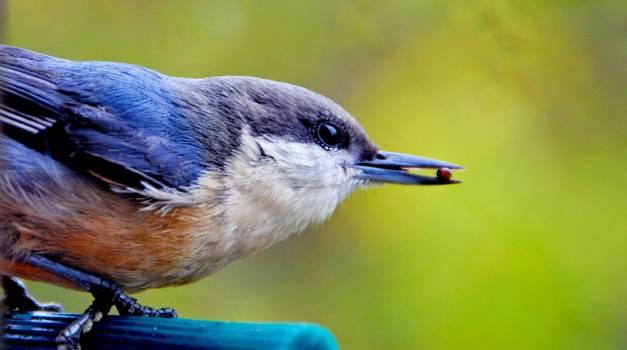 Bird blue bird close up eye #46951