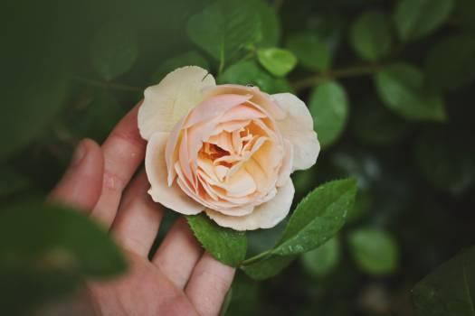 Rose hand rose flower flower #46953