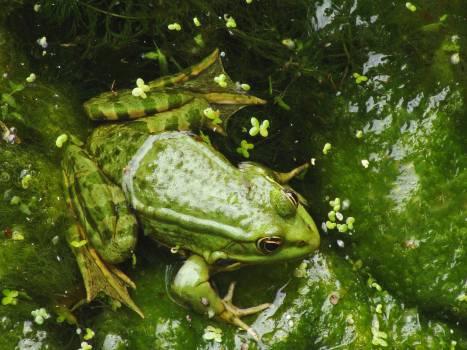 Green Frog #47078
