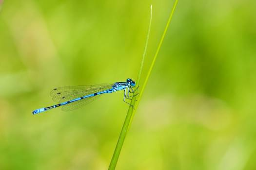 Blue and Black Dragonfly #47194
