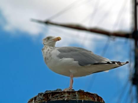 Grey White and Black Seagull Free Photo