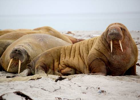 Brown Walrus on White Sand during Daytime Free Photo
