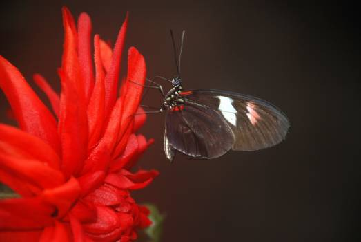 Black and White Butterfly on Red Multi Petaled Flower Free Photo
