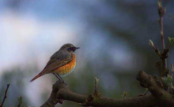 Nature bird garden common redstart Free Photo
