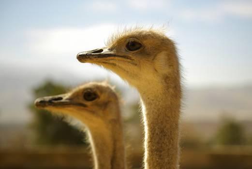 Ostrich animal africa wild #47632