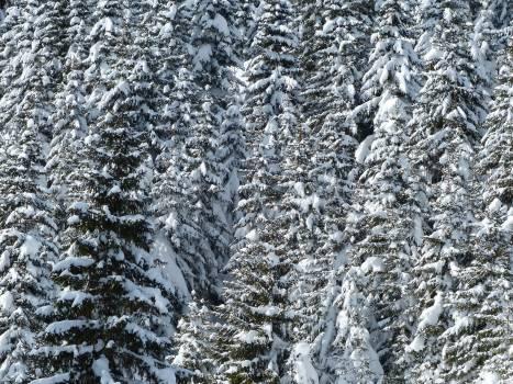 Snow on Pine Tree Leaves Free Photo