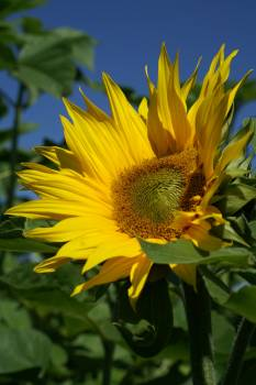 Sunflower Under Blue Sky during Daytime #47935